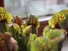 Czerwone unerwienia owadożernej Sarracenii
