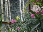 Zółto-zielony kwiat Sabotka (Paphiopedilum) otulony oleandrem.