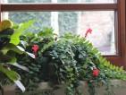 Aesthynanthus zakwitł czerwonymi całuskami kwiatów na Walentynki. Teraz kwiatów już niewiele.